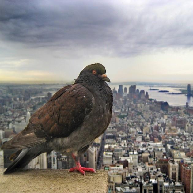 Нью-йоркский голубь