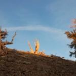 Самое древнее дерево в мире по имени Мафусаил