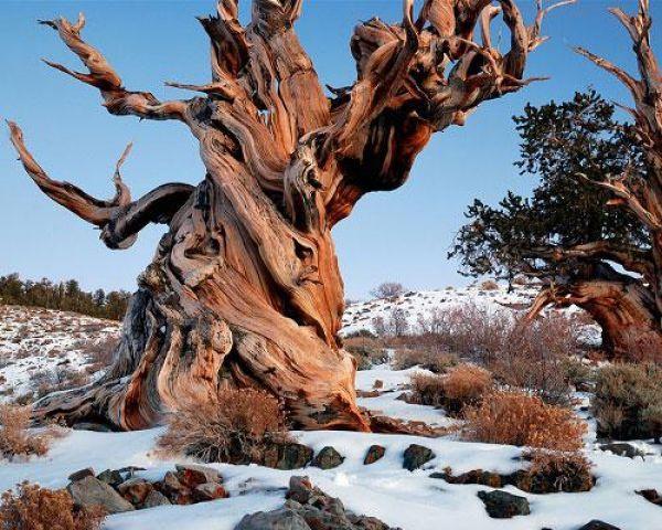 Древнее дерево - Мафусаил