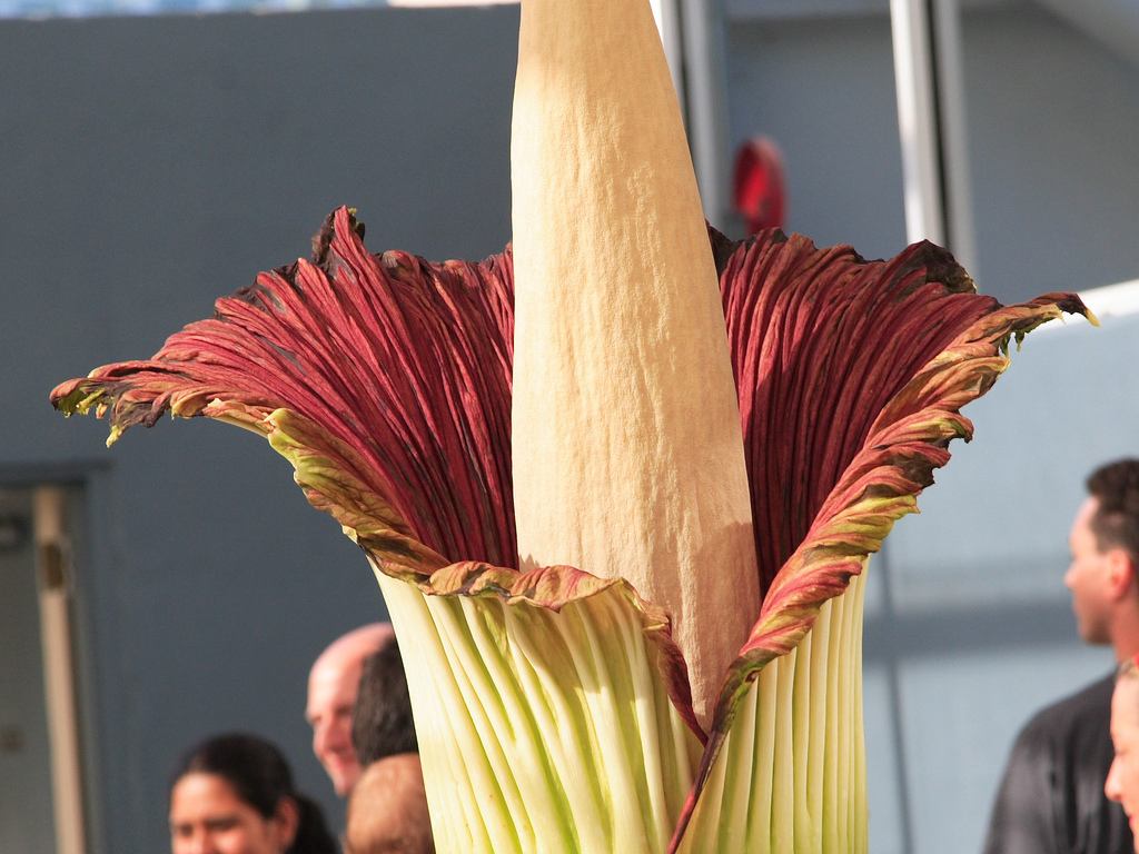 цветок-труп