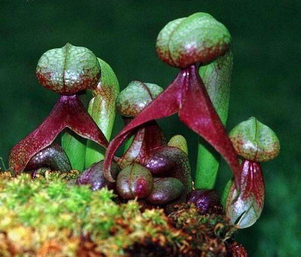 Дарлингтония (Darlingtonia) – болотное растение Северной Америки