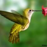 Звезды шоу цвета и скорости: эквадорские птички колибри