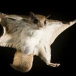 Белка – летяга — секрет названия и самого животного :)