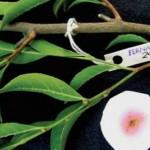 Найдено растение, «поедающее» металл
