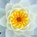 Цветок лотоса – символ красоты и духовности